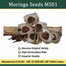 Moringa Seeds Wholesale