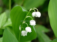 Lily of the valley scent fragrance oil for soap application