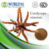 Hot sale Yarsagumba Extract/Cordyceps Extract Polysaccharides 10%-40%UV