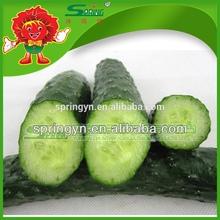 Venta al por mayor pepino fresco fuente grande verde de la juventud pepino