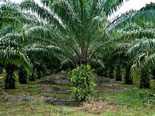 Very good Ivory Coast Palm Oil