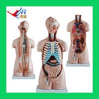 2014 Best-selling Unisex torso model 85CM(20parts),Medical Models for Sale
