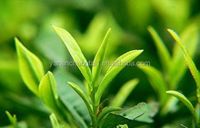 BV certificated pure natrual Green Tea Extract