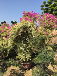 multicolor leaves blooming Bougainvillea spectabilis Willd of decorative ornamental outdoor indoor bonsai plants