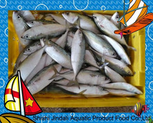 Frozen India mackerel for canning on sale