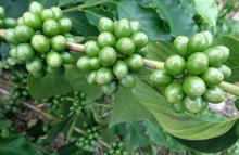 NEW CROP ARABICA RAW COFFEE BEANS