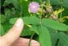 Herb Medicine Mimosa Hostilis Root Bark Extract Mimosa hostilis root extract/mimosa hostilis powder/mimosa hostilis 1kg