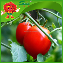 Tomato manufacturers pickled red/green cherry tomato