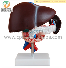 Human Anatomical Liver, Pancreas and Duodenum Model