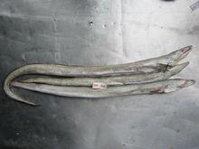 Conger Eel (Congresox Talabonoides)