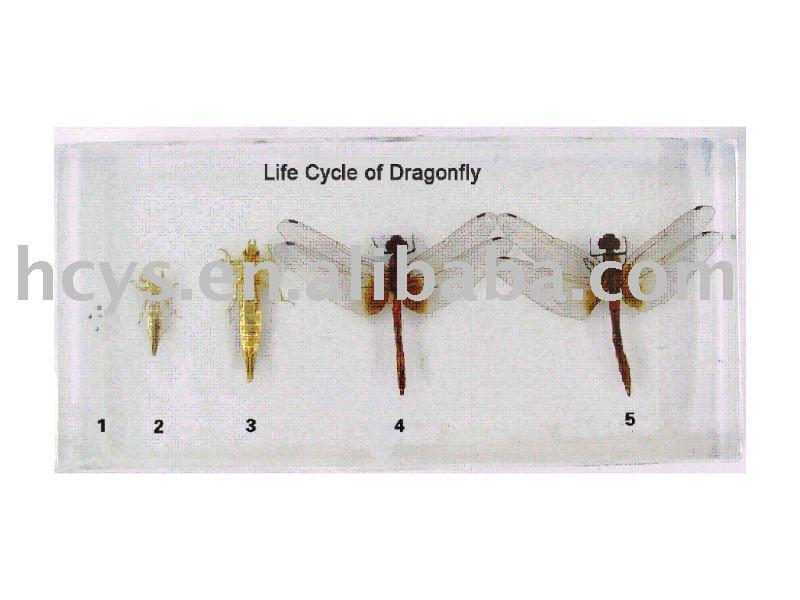 Ciclo de vida de la libélula