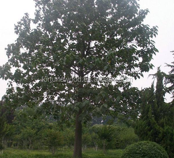 chine paulownia de d coupe racine souche d 39 arbre pour la plantation autres produits agricoles id. Black Bedroom Furniture Sets. Home Design Ideas