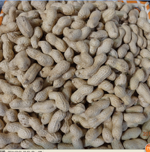 Delicious roasted peanuts in shell for sale