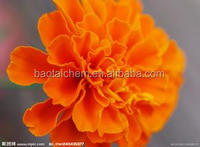 top quality manufacturer marigold extract lutein 10%