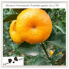 High Quality Chinese Fresh Mandarin Orange Citrus Fruit