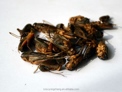 animal feed manufacturer provides straightly dry crickets