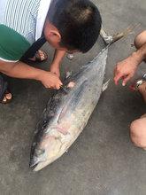 yellowfinfin tuna Whole Round 30kg up (Thunnus albacores ) purse seiner