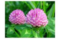 china red clover extract / red clover p.e. 40% total isoflavones