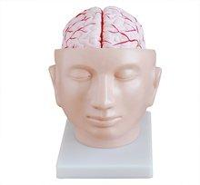 el cerebro con arterias en la cabeza de plástico del cerebro