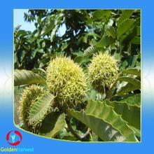 Nueva corp fresco a granel Castanea mollissima / frutos secos castañas con cáscara
