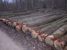 Straight and round white oak logs for
