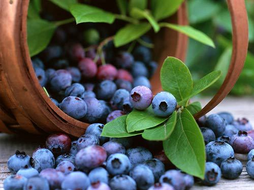bilberry p. e., bilberry powder, bilberry plants for sale