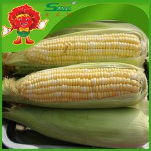 IQF fresh vegetable Sweet yellow corn yellow maize