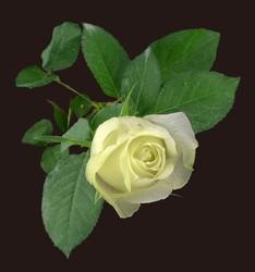 Yellow Fresh rose flowers Love Story