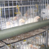 Professional Galvanized battery chicken broiler poultry feed for meat chicken