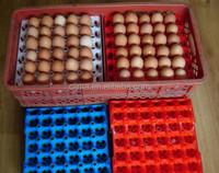 plasic egg tray for transfering use