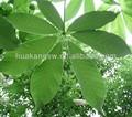 natural de la planta de castaño de indias extracto