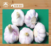 normal white garlic fresh purple garlic fresh purple garlic