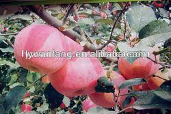 Wholesale good taste fresh apple fruit containing potassium