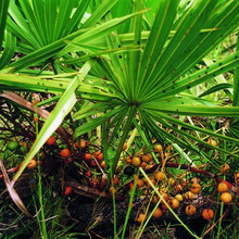 Enhance Energy Saw Palmetto Extract Saw Palmetto berry Extract/ Fatty Acids 15%