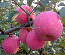 Harvest Time Red Delicious Fresh Fuji Apple