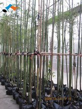 Moso Bamboo plant