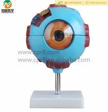 6 times Enlarged Plastic Human Anatomical Eye Model