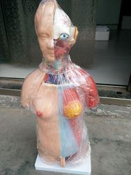 torso doll model