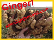 2015 top crop agriculture red color fresh ginger Size 50g up--300g up PVC BOX dried or fresh ginger for sale