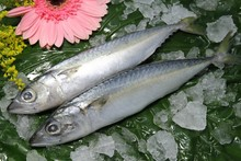 hot selling frozen pacific mackerel fish