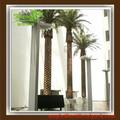 fecha palm tree semillas de canarias