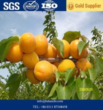 dried apricot high quality made in turkey factory