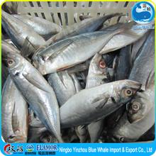Tasty of Horse mackerel WR + 23cm