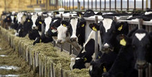 We supply Live Dairy Holstein Cow