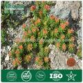 100% natural Rhodiola rosea p. E.( mejorar sexual)