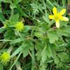 mao zhua cao Ranunculus ternatus