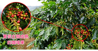 Китай Юньнань небольших кофейных зерен, высокого качества органических Арабика питание 454 г зеленый зеленый кофе в зернах