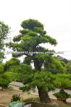 Bonsai pine wood for garden design of Zen