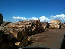 New Zealand Radiata Pine Logs
