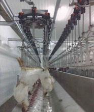 Pollo matadero con 3000 unidades / hora